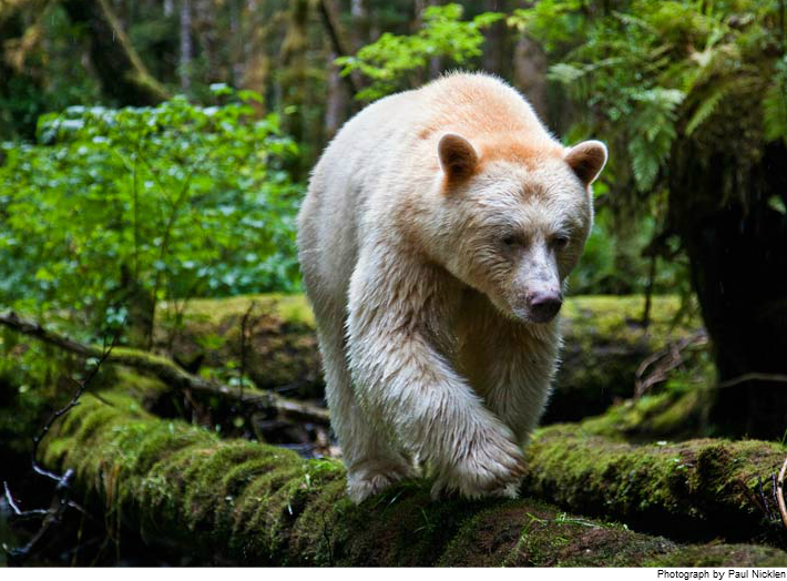 spirit bear Touching spirit bear by ben mikaelsen available in trade paperback on powells com, also read synopsis and reviews in his napra nautilus award-winning.